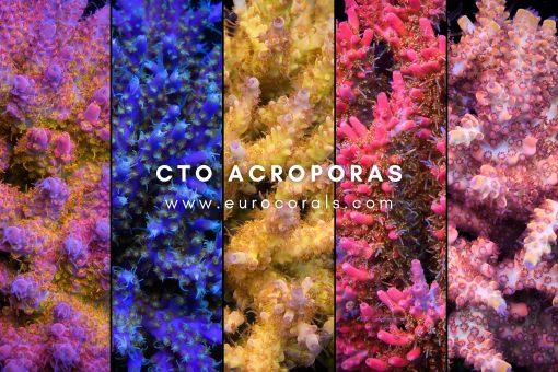 Cut-To-Order Signature Korallen